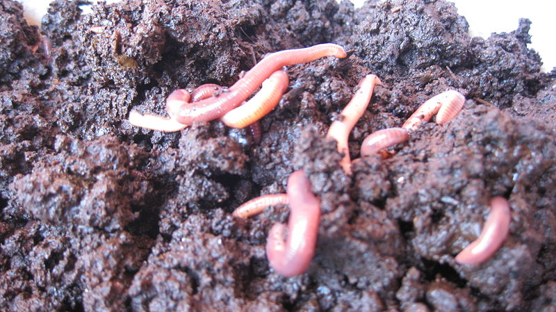 Vermicomposting_-_lombricompostage_(5375743544)