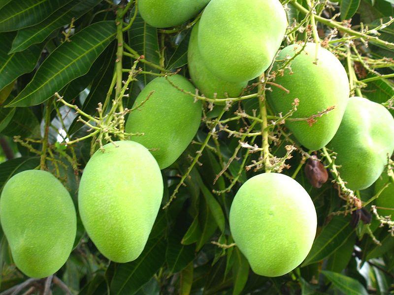 800px-Mango_tree_(227084493)