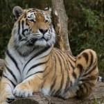 tiger-695333_640