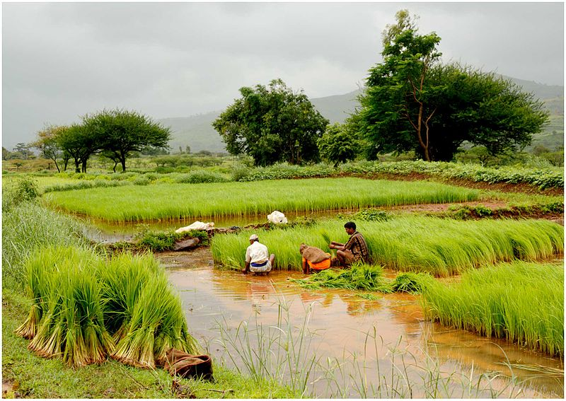 Agriculture,_Farms,_India_paddy_fields