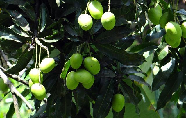 mango-745772_640