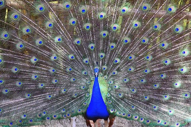 peacock-651390_640